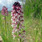 Burnt-Tip Orchid02