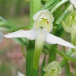 Greater Butterfly Orchid01