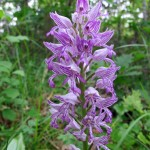 Military Orchid 03