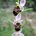 Woodcock Orchid 04