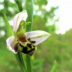 Woodcock Orchid02