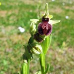 small Spider Orchid 03