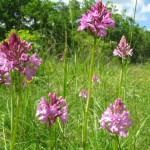 Pyramidal orchid06